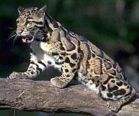 Brandywine Zoo - Animals in the Zoo - Clouded Leopard