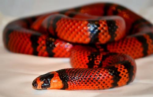 Honduran Milk Snake - Brandywine Zoo - Wilmington ...