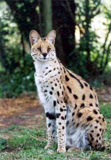 serval_cat.jpg