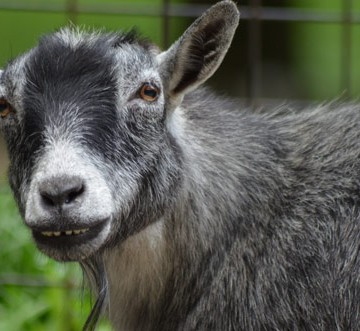 pygmy-goat-2014-2