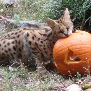 Serval enjoying a pumpkin
