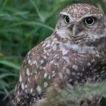 burrowing-owl-1