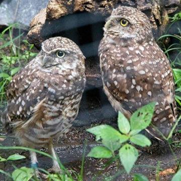 burrowing-owl-2