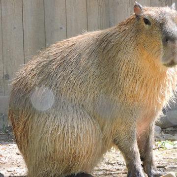 capybara-1