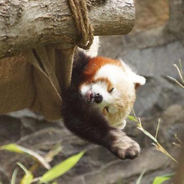 red-panda-4
