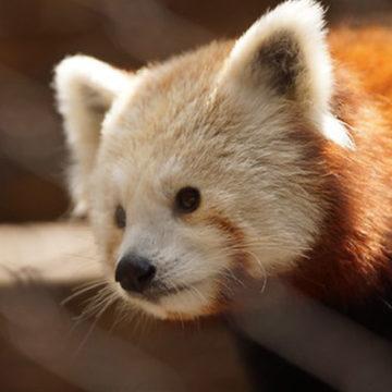 red-panda-5