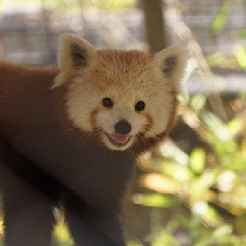 red-panda-6