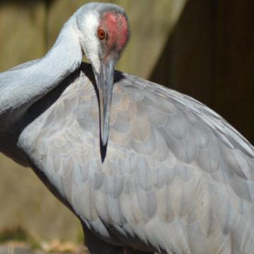 sandhill-crane-1
