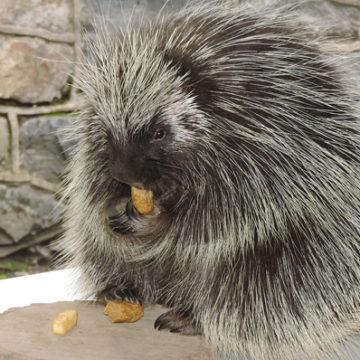 north-american-porcupine-2