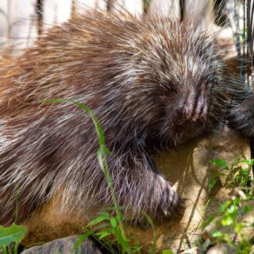 north-american-porcupine-4