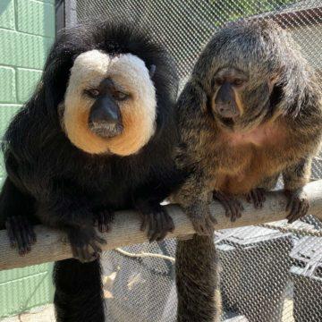 white-faced-saki-monkeys