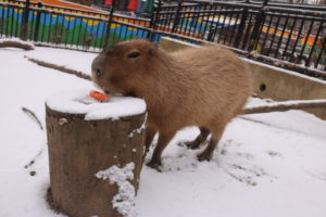 Capybara in the snow