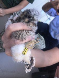 American kestrel chick with leg band